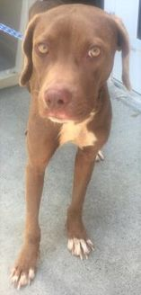 Terrier (Unknown Type, Small) Mix Dog for adoption in St. Thomas, Virgin Islands - BOY BLUE