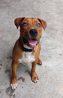 Black Mouth Cur/Labrador Retriever Mix Puppy for adoption in Groveland, Florida - TJ