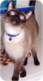 Siamese Cat for adoption in Oklahoma City, Oklahoma - Coco