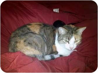 Calico Cat for adoption in Plymouth, Massachusetts - Layla