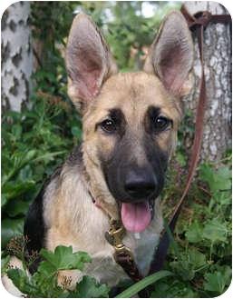 German Shepherd Dog Puppy for adoption in Los Angeles, California - Ginger von Chapin