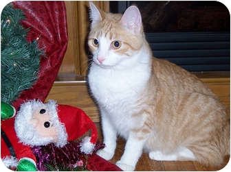 Domestic Shorthair Cat for adoption in Owatonna, Minnesota - Mulligan