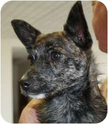 Basenji/Terrier (Unknown Type, Small) Mix Puppy for adoption in Cheney, Kansas - Miss Kitty