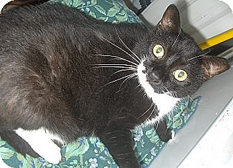 Domestic Shorthair Cat for adoption in Middletown, Connecticut - Thelma