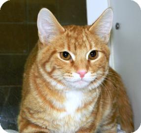 Domestic Shorthair Cat for adoption in Cheyenne, Wyoming - Blitzen