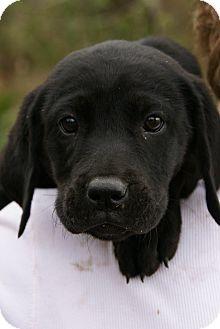Labrador Retriever Mix Puppy for adoption in Daisy, Georgia - Penelope *Courtesy*