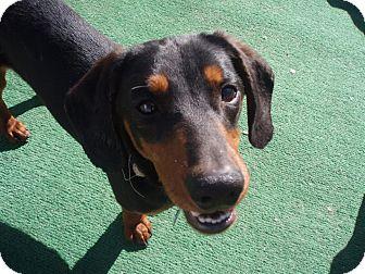 Dachshund Mix Dog for adoption in Atascadero, California - Marlin