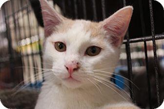 American Shorthair Kitten for adoption in Santa Monica, California - Jonah