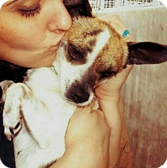 Chihuahua/Spaniel (Unknown Type) Mix Dog for adoption in north hollywood, California - Zizi