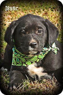 Labrador Retriever Mix Puppy for adoption in Glastonbury, Connecticut - Isaac
