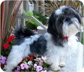 Shih Tzu Dog for adoption in Los Angeles, California - PANDA