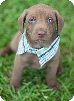 Labrador Retriever Mix Puppy for adoption in Glastonbury, Connecticut - Axel