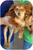 Sheltie, Shetland Sheepdog Mix Dog for adoption in tucson, Arizona - Tuxedo