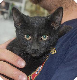 Domestic Shorthair Kitten for adoption in Brooklyn, New York - Ninja