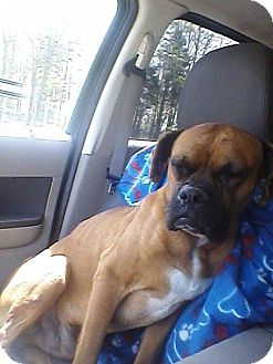 Boxer Dog for adoption in Brentwood, Tennessee - Blue