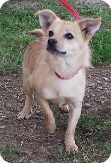 Pomeranian/Terrier (Unknown Type, Medium) Mix Dog for adoption in Orland, California - Beatrice