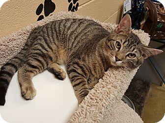 Domestic Shorthair Cat for adoption in Smithfield, North Carolina - Franklin