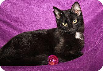 Domestic Shorthair Kitten for adoption in Marietta, Ohio - Raven (Spayed)