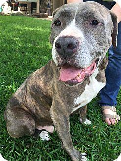 Mastiff/Pit Bull Terrier Mix Dog for adoption in Portland, Oregon - A - CHARLIE