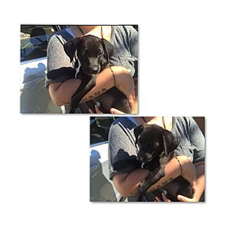 Labrador Retriever/Hound (Unknown Type) Mix Puppy for adoption in South San Francisco, California - Skeeter