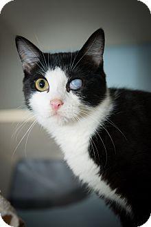 Domestic Shorthair Kitten for adoption in New York, New York - Emily