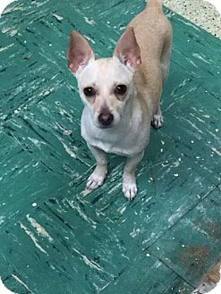 Chihuahua Mix Dog for adoption in Saddle Brook, New Jersey - Sunny