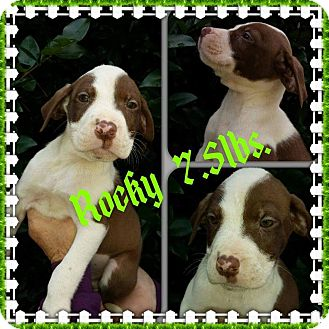 Labrador Retriever/Hound (Unknown Type) Mix Puppy for adoption in Sumter, South Carolina - Rocky