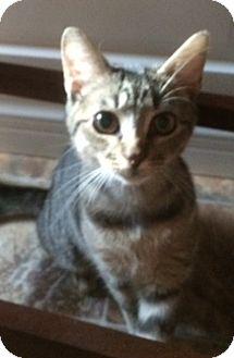American Shorthair Kitten for adoption in Clark, New Jersey - Fig