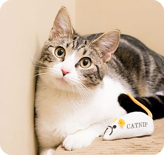 Domestic Shorthair Cat for adoption in Chicago, Illinois - Isabel