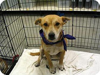 Terrier (Unknown Type, Medium)/Corgi Mix Dog for adoption in Melrose, Florida - Cindy