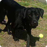 Adopt A Pet :: Shadow - Newport, NC