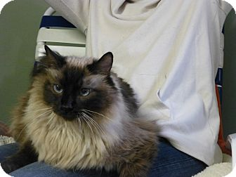Siamese Cat for adoption in Quincy, California - Keke