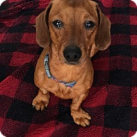 Adopt A Pet :: Deedee - Grafton, MA