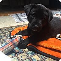 Adopt A Pet :: Puppy Abel - Austin, TX