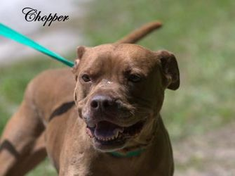 American Pit Bull Terrier Mix Dog for adoption in Middleburg, Florida - Chopper