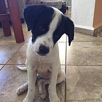 Adopt A Pet :: Missy - Ridgefield, CT