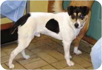 Fox Terrier (Smooth)/Beagle Mix Dog for adoption in Osseo, Minnesota - Rupert