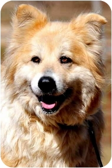 Golden Retriever/Collie Mix Dog for adoption in Pawling, New York - TULIP
