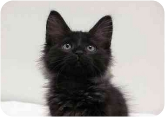 Domestic Mediumhair Kitten for adoption in Houston, Texas - Valentino