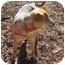 Photo 4 - Beagle/Shepherd (Unknown Type) Mix Dog for adoption in Marion, North Carolina - Rocky