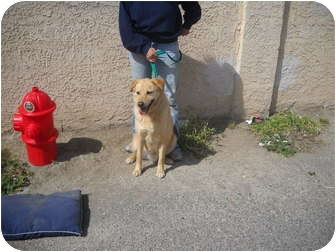 Australian Cattle Dog/Golden Retriever Mix Dog for adoption in Las Vegas, Nevada - BUDDY BOY