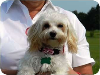 Poodle (Miniature)/Maltese Mix Dog for adoption in Wakefield, Rhode Island - PRINCESS-POO