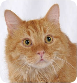Domestic Mediumhair Cat for adoption in Chicago, Illinois - Garfield