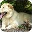 Photo 3 - Great Pyrenees/Golden Retriever Mix Dog for adoption in Hamburg, Pennsylvania - Goliath