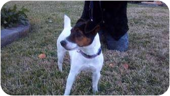 Jack Russell Terrier Dog for adoption in Austin, Texas - Gidget in Austin