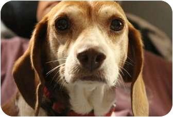 "Beagle Dog for adoption in Farmington, Michigan - Heidi: 13 y.o. ""kitty mama."""