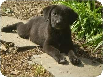 Labrador Retriever/Border Collie Mix Puppy for adoption in Adamsville, Tennessee - Trevor