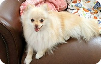 Pomeranian Mix Dog for adoption in Tustin, California - SammyJ