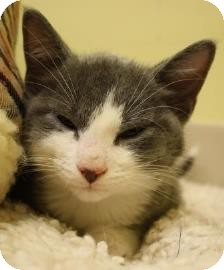 Domestic Shorthair Kitten for adoption in West Des Moines, Iowa - Twix