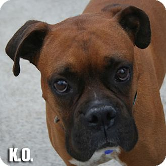 Boxer Dog for adoption in Encino, California - K.O.